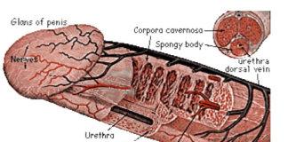 anatomia-penisului